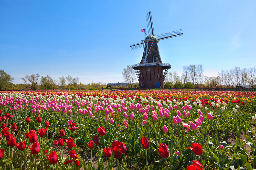 Photo of Tulip Field and Windmill in Amsterdam